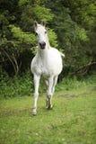 跑在pasturage的英国纯种马 库存照片