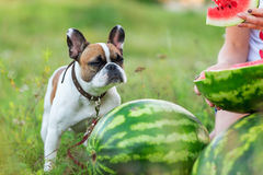 跑在summerFunny的滑稽的英国牛头犬在夏天 免版税库存照片