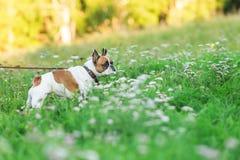 跑在summerFunny的滑稽的英国牛头犬在夏天 免版税库存图片