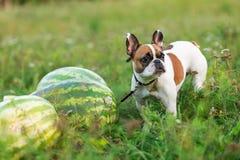 跑在summerFunny的滑稽的英国牛头犬在夏天 库存照片
