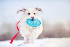 跑往照相机的滑稽的卷曲狗 免版税库存照片