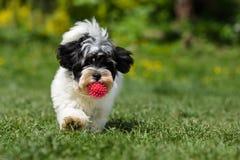 跑往与球的照相机的嬉戏的havanese小狗 免版税库存照片