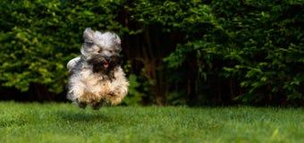 跑往在草的照相机的愉快的havanese狗 库存图片