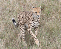 跑往照相机的一头幼小猎豹特写镜头frontview通过高草 免版税库存图片