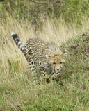 跑往照相机的唯一猎豹特写镜头frontview 免版税库存照片