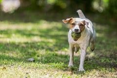 跑往照相机的杰克罗素狗 库存图片