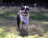 跑往照相机的波士顿狗 免版税库存图片