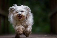 跑往照相机的狗 库存图片