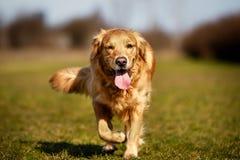 跑往照相机的纯血统狗 免版税库存图片