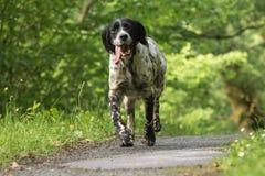 跑往照相机的行动的逗人喜爱的愉快的英国塞特种猎狗 免版税库存图片