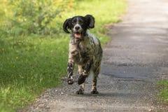 跑往照相机的行动的逗人喜爱的愉快的英国塞特种猎狗 图库摄影