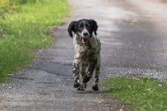 跑往照相机的行动的逗人喜爱的愉快的英国塞特种猎狗 库存图片