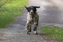 跑往照相机的行动的逗人喜爱的愉快的英国塞特种猎狗 库存照片