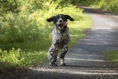 跑往照相机的行动的逗人喜爱的愉快的英国塞特种猎狗 免版税库存照片