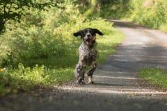 跑往照相机的行动的逗人喜爱的愉快的英国塞特种猎狗 免版税图库摄影