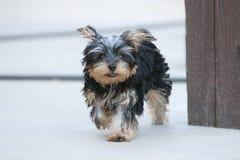 跑往照相机的逗人喜爱的小的小狗 库存图片