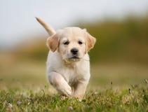 跑往照相机的金毛猎犬小狗 免版税库存图片