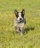 跑往观察者的愉快的得克萨斯Heeler小狗 免版税图库摄影