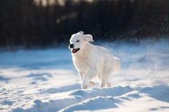 跑户外在冬天的金毛猎犬狗 免版税库存照片