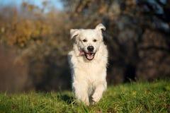 跑户外在春天的愉快的金毛猎犬狗 免版税图库摄影