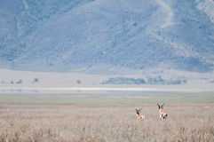 跑掉到距离的汤姆生瞪羚 图库摄影