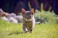 跑摄影师的小猫 免版税库存照片