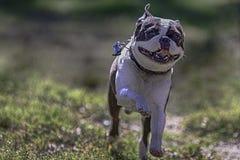 跑有被弄脏的背景的波士顿狗 库存图片