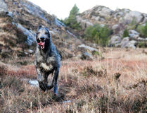 跑本质上的巨型爱尔兰猎犬 图库摄影