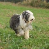 跑本质上的有胡子的大牧羊犬 库存照片