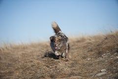 跑本质上的澳大利亚牧羊人 库存照片