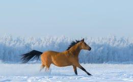 跑横跨多雪的领域的栗子马 免版税图库摄影