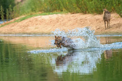 跑横跨河的狐狼 免版税库存照片