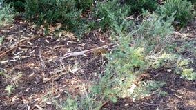 跑横跨长凳和通过植物加州大学洛杉矶分校校园的灰鼠 股票视频