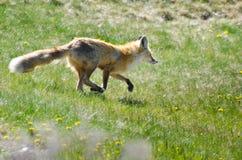 跑横跨领域的Fox 免版税库存照片