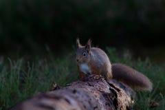 跑沿下落的日志的红松鼠 库存图片