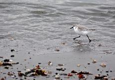 跑沿岸的一只鸣唱珩科鸟 库存照片