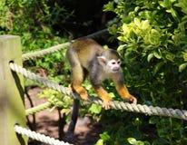 跑沿绳索篱芭的蜘蛛猴 库存照片