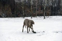 跑用在他的嘴的一根棍子的愉快的weimaraner狗 库存照片