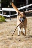 跑用在它的嘴的一根木棍子的Malinois或比利时护羊狗 免版税库存照片