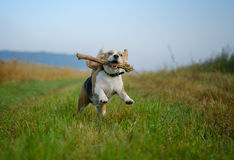 跑用在他的牙的一根棍子的小猎犬狗 免版税图库摄影