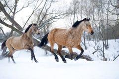 跑疾驰的海湾马在冬天森林里 免版税库存照片