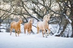 跑疾驰的Yelloy马在冬天森林里 免版税库存图片