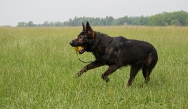 跑的德国牧羊犬使用和 免版税库存照片