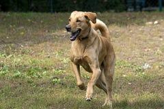 跑的拉布拉多狗 库存照片