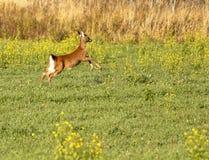 跑的白被盯梢的鹿 免版税库存图片
