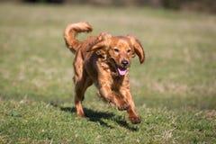 跑的Cockapoo狗 免版税库存照片