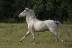 跑的Connemara小马 免版税图库摄影