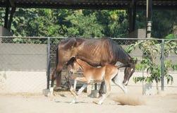 跑的Marwari栗子马驹在小牧场 印度 图库摄影