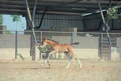 跑的Marwari栗子马驹在小牧场 印度 免版税库存图片