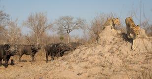 跑远离恼怒的水牛牧群的两只雌狮  免版税库存照片